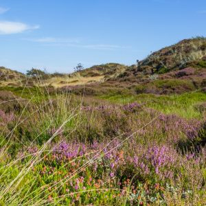 Dunes landscape of the wadden islands of the Netherlands with blooming heather and a path.